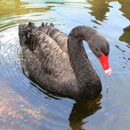 Post image for Betting on another Black Swan